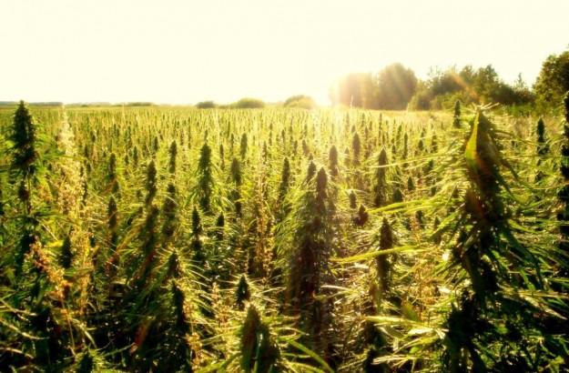 Reportage objectif sur le cannabis (ça change du Figaro)