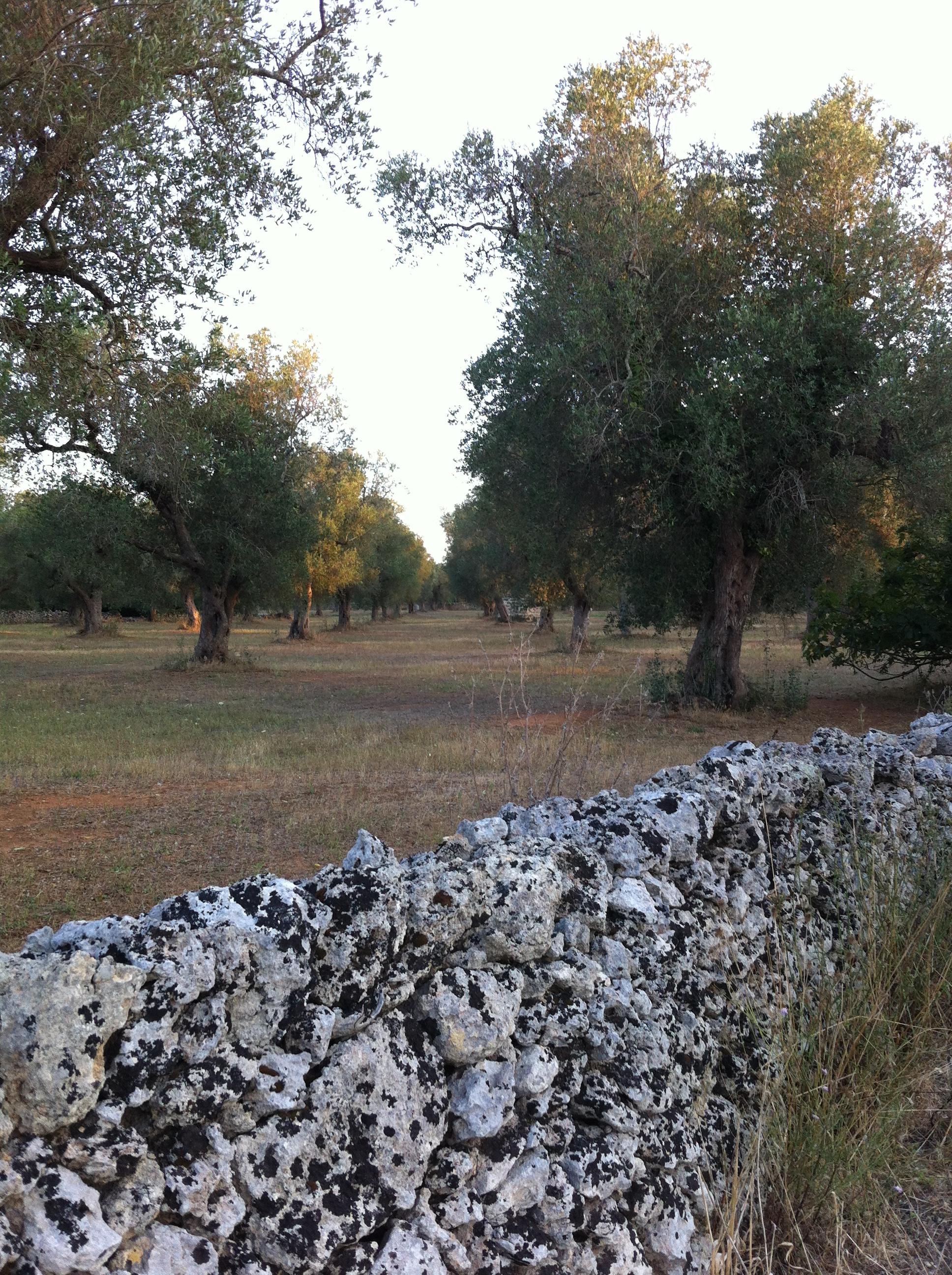 Les oliviers du Salento au cœur d'une psychose aux intérêts multiples