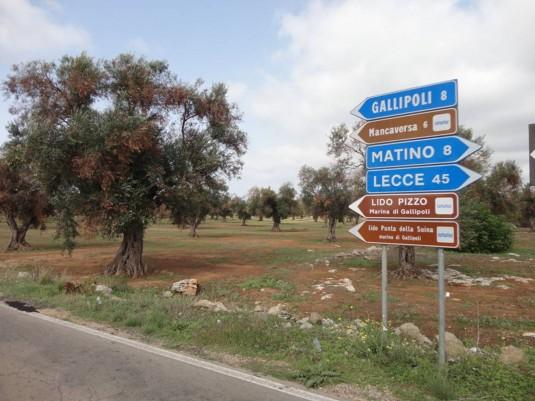 """Des oliviers présentant les symptômes du """"processus complexe de dessèchement"""". © www.eppo.int"""