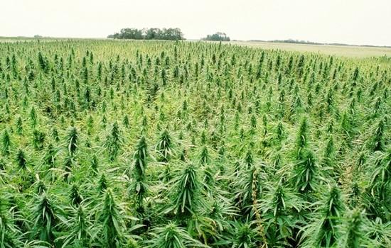 Cannabis: l'échec des politiques répressives