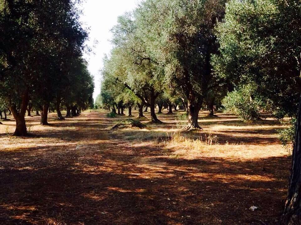 Un article du Temps discrédite les opposants à l'abattage des oliviers du Salento